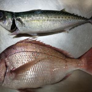 マダイとマサバの釣魚料理