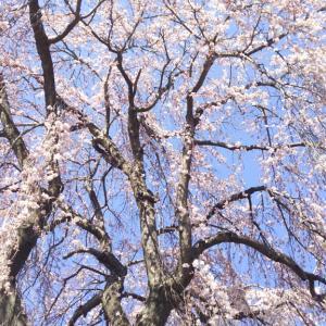 枝垂れの春