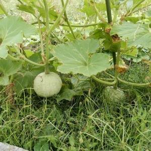 本日 下弦の月☽。 秋まき種が発芽 秋の自然農 収穫した物。