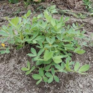 自然農畑整備。 おい!今頃かい! とっ突っ込みたくなる、 土寄せ 落花生。