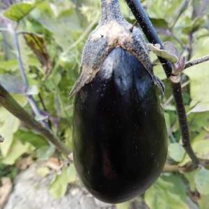 本日は、 自然農の畑を片付けなど ミニトマト 豊作(⋈◍>◡<◍)。✧♡