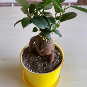 『ガジュマルの木』