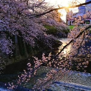 夕日の桜と神田川の風景 (東京都 豊島区)