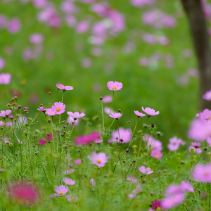 コスモスの丘から (昭和記念公園/東京都 立川市)