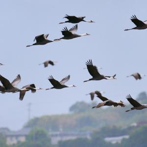 直線になって飛ぶナベヅル (鹿児島県 出水市)