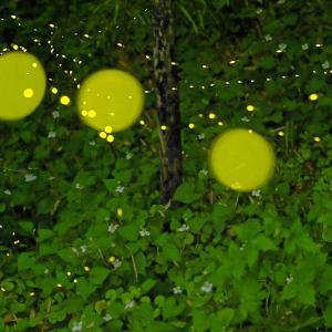 森の提灯 (埼玉県 秩父市)