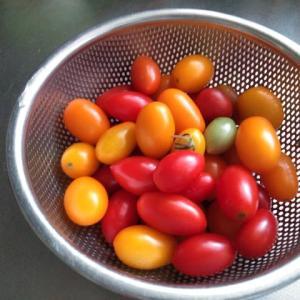 トマトを撤去