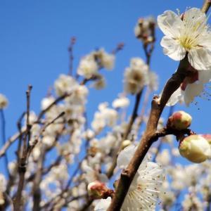 「梅を観る会」はいいんですよね? 令和初の観梅。 梅開きポタリングを挙行であります。