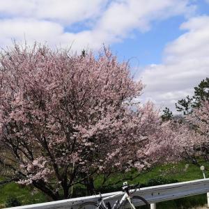 2020年の桜をなかったことにしてはいけないと思うのです。節度を持って桜に愛を送ろう。