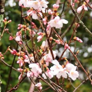 2020年4/1現在~興禅寺~時雨桜~本日開花です