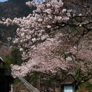 2020年4/3現在~南木曽町~サクラ情報①