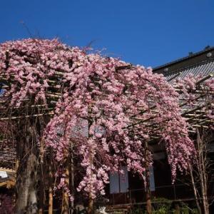 2020年4/9現在~時雨桜~サクラ情報②