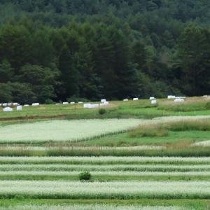 2020年9/7現在~開田高原ソバの花