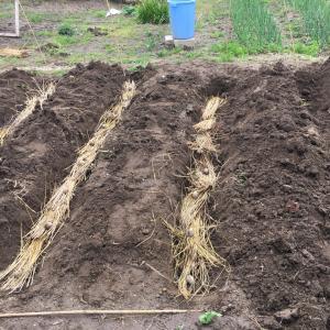わが家のオーガニック畑  じゃがいも植え