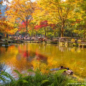 高千穂町の紅葉は今秋が見頃かも