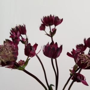 ワインカラー🍷の花 アストランティア