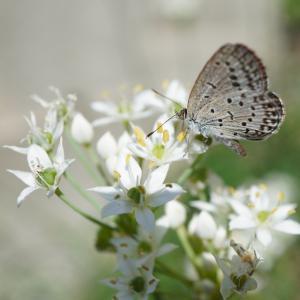 ニラの花とシジミチョウ