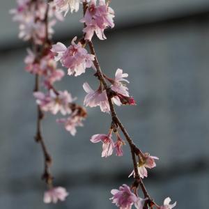 京都・御池桜 2