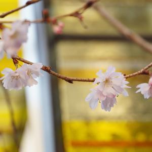 京都・御池桜 3