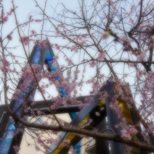 京都・御池桜 4