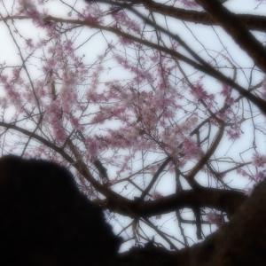 京都・御池桜 5