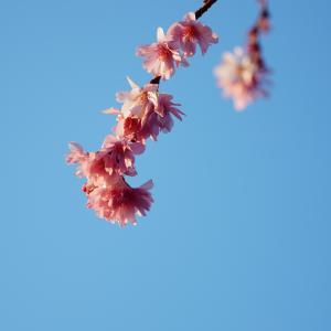 京都・御池桜 6