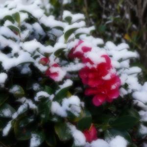 山茶花と雪~そして、梅