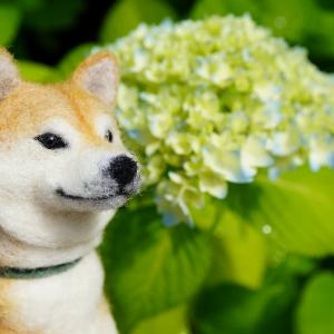 ポチと紫陽花 1