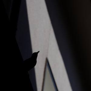 シルエット~イソヒョドリの♀&郡山城天守台からの眺め