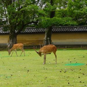 奈良公園の鹿達