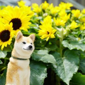 ポチには、向日葵がよく似合う1~大阪梅田・カリヨン広場にて
