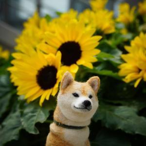 ポチには、向日葵がよく似合う2~大阪梅田・カリヨン広場にて