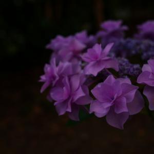 紫陽花の王冠