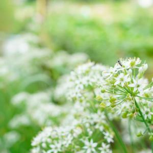 韮の花と蟻と