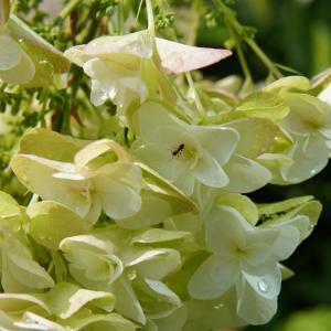 紫陽花と蟻と雫
