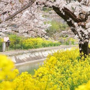 桜と菜の花のコラボさんぽ道♪