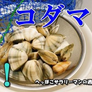 【鳥取】今年もとれるぞ!コダマガイ(コダマカイ)!