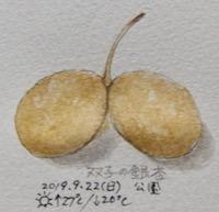 #植物スケッチ #ネイチャー・ジャーナル 『銀杏』 Ginkgo biloba