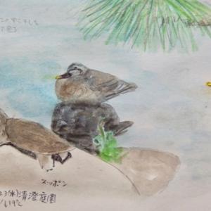 #野鳥スケッチ #ネイチャー・ジャーナル 『スッポン と カルガモ』