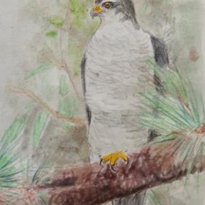 #野鳥スケッチ #ネイチャー・ジャーナル 『蒼鷹』 Accipiter gentilis