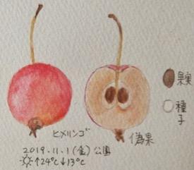#植物スケッチ #ネイチャー・ジャーナル 『姫林檎』Malus prunifolia