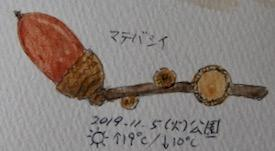 #植物スケッチ #ネイチャー・ジャーナル 『馬刀葉椎』 Lithocarpus edulis