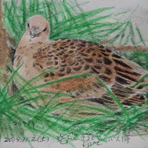 #野鳥スケッチ #ネイチャー・ジャーナル 『雉鳩』 Streptopelia orientalis