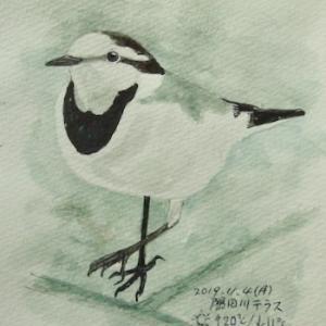 #野鳥スケッチ #ネイチャー・ジャーナル 『白鶺鴒』 Motacilla alba lugens