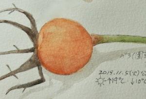 #植物スケッチ #ネイチャー・ジャーナル 『薔薇』 Rosa