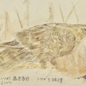 #野鳥スケッチ #ネイチャー・ジャーナル『大鷹』 Accipiter gentilis