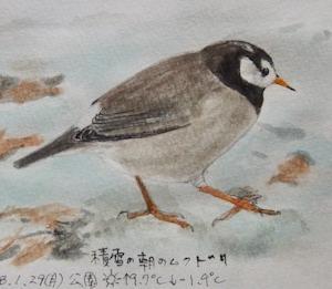 #ネイチャー・スケッチ  #Naturejournal  『椋鳥』 Sturnus cineraceus