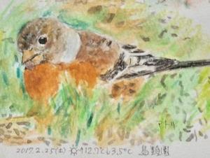 #ネイチャー・スケッチ  #Naturejournal  『花鶏』 Fringilla montifringilla