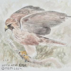 #ネイチャー・スケッチ  #Naturejournal  『鵟』 Buteo japonicus