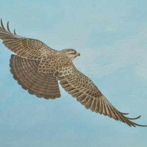 #自然画 『飛翔』 ノスリ